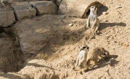 Fauna selvatica del mammifero del meerkat di Meercat che guarda gli animali Fotografia Stock Libera da Diritti
