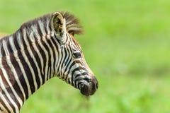 Fauna selvatica del primo piano del collo della testa del vitello della zebra Immagine Stock