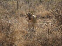 Fauna selvatica del Sudafrica al leone del parco del kruger Fotografia Stock