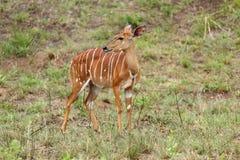 Fauna selvatica del Sudafrica del Nyala Fotografia Stock Libera da Diritti