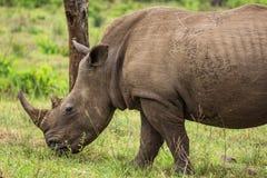 Fauna selvatica del Sudafrica di rinoceronte Fotografie Stock Libere da Diritti