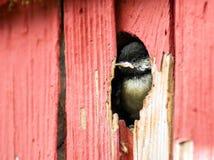 Fauna selvatica dell'animale dell'uccello del Chickadee Nero-ricoperta bambino immagine stock