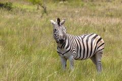 Fauna selvatica della zebra Immagine Stock Libera da Diritti