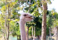 Fauna selvatica dello struzzo Immagini Stock