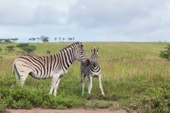 Fauna selvatica di affetti del vitello della zebra Fotografia Stock Libera da Diritti