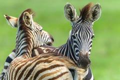 Fauna selvatica di affetti del vitello delle zebre Fotografia Stock
