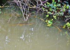 Fauna selvatica di caccia del luccio del pesce del parco dell'alligatore di Florida S.U.A. Immagine Stock