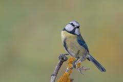 Fauna selvatica di caeruleus n di Cyanistes dell'uccello Immagine Stock