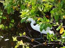 Fauna selvatica di Charlotte Harbor Fotografie Stock