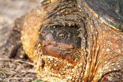 Fauna selvatica di Illinois della tartaruga di schiocco Immagini Stock Libere da Diritti