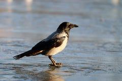 Fauna selvatica di inverno del ghiaccio del corvo Fotografie Stock