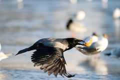 Fauna selvatica di inverno del ghiaccio del corvo Fotografia Stock Libera da Diritti