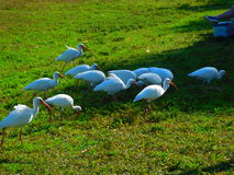 Fauna selvatica di Melbourne, Florida Fotografia Stock Libera da Diritti
