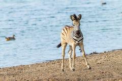 Fauna selvatica di Waterhole del vitello della zebra Fotografia Stock Libera da Diritti