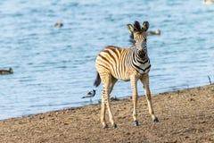 Fauna selvatica di Waterhole del vitello della zebra Fotografia Stock
