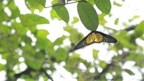 Fauna selvatica dorata femminile di Birdwing nella montagna Taiwan stock footage