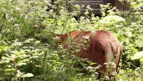 Fauna selvatica e conservazione della natura Punto di vista alto vicino di giovane cervo di bambi che mastica erba stock footage