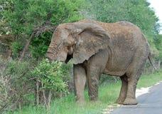 Fauna selvatica: Elefante africano fotografie stock libere da diritti