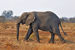 Fauna selvatica: Elefante africano fotografia stock libera da diritti