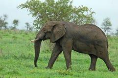 Fauna selvatica: Elefante africano fotografia stock
