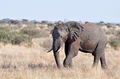 Fauna selvatica: Elefante africano immagine stock libera da diritti