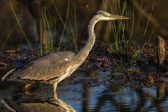 Fauna selvatica Grey Heron Bird Wetland Fotografia Stock