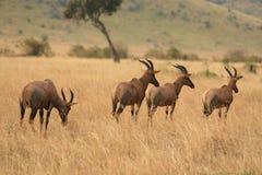 Fauna selvatica keniana Fotografia Stock Libera da Diritti