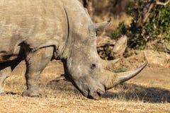 Fauna selvatica maschio del primo piano di rinoceronte Immagine Stock Libera da Diritti