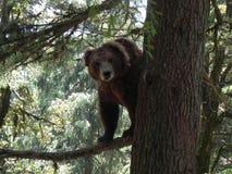 Fauna selvatica - orso bruno Fotografia Stock Libera da Diritti
