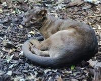 fauna selvatica selvaggia animale del gatto della fossa immagini stock libere da diritti