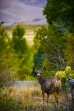 Fauna selvatica selvaggia di Colorado dei cervi Fotografia Stock
