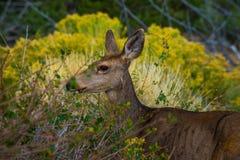 Fauna selvatica selvaggia di Colorado di profilo dei cervi Immagine Stock