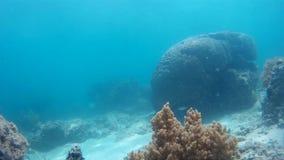 Fauna selvatica subacquea piacevole, pesce tropicale video d archivio