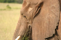Fauna selvatica in Tanzania Immagini Stock