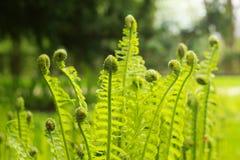 Fauna selvatica verde fresca della felce Fotografie Stock
