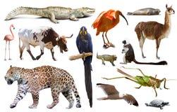 Fauna of South America set Royalty Free Stock Photos