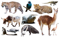 Fauna of South America set Royalty Free Stock Photography