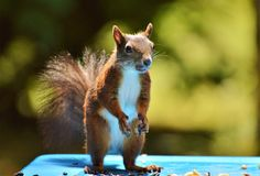 Fauna, Squirrel, Mammal, Rodent Stock Images