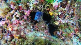 Fauna submarina - anguila de moray en un filón del colourfull almacen de video