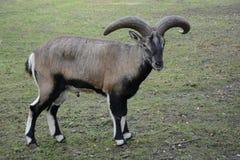 fauna tier Ziege Lizenzfreies Stockfoto