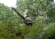 Forest and woods fauna and plants. The fauna, trees, plants of Nottingham Forest in the midlands of the UK stock photography