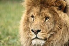 Fauna, un león africano masculino que se sienta solamente Fotografía de archivo