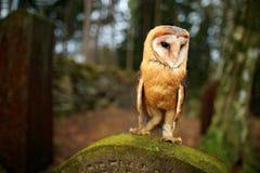 Fauna urbana Lechuza común mágica del pájaro, Tito alba, volando sobre la cerca de piedra en cementerio del bosque Naturaleza de  imagenes de archivo