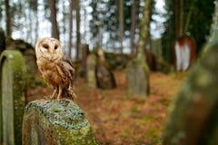 Fauna urbana Lechuza común mágica del pájaro, Tito alba, volando sobre la cerca de piedra en cementerio del bosque Naturaleza de  imágenes de archivo libres de regalías