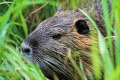 Fauna, Wildlife, Mammal, Beaver stock images