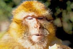 Faunaabschluß Buschafrikas Marokko oben Lizenzfreie Stockbilder