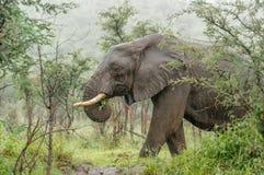 Faune - éléphant sous la pluie image stock