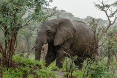 Faune - éléphant sous la pluie image libre de droits