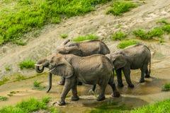 Faune - éléphants image libre de droits