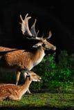 Faune étonnante de cerfs communs affrichés d'animaux Image libre de droits